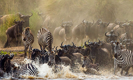Serengeti/Mara River Crossing Wildebeest Migration