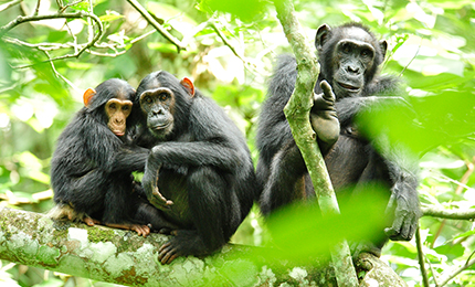 Uganda Great Apes Safari